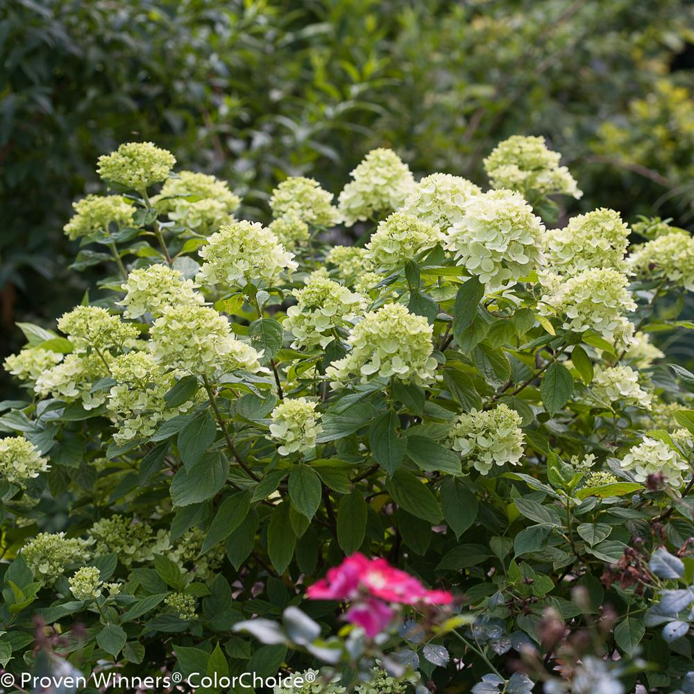 ProvenWinners Proven Winners 4.5 in. Qt. Little Lime Hardy Hydrangea (Paniculata) Live Shrub, Green to Pink Flowers
