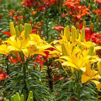 Asiatic Lilies for Cutting Bulbs Mixture (10-Pack)