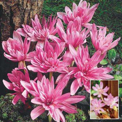 Colchicum Waterlily Fall Flowering Bulbs, Lavender Colored Flowers (3-Pack)