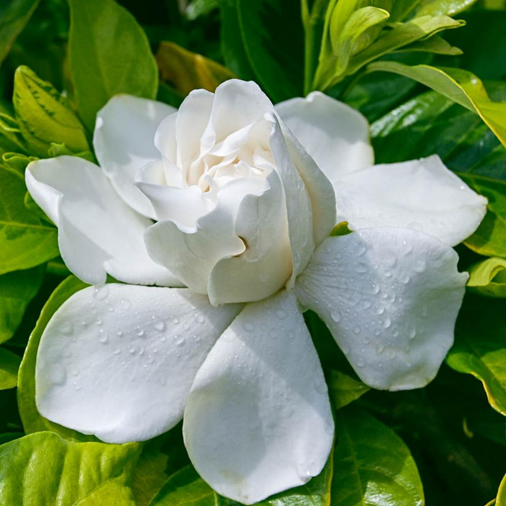Spring Hill Nurseries 2 In Pot Gold Doubloon Gardenia