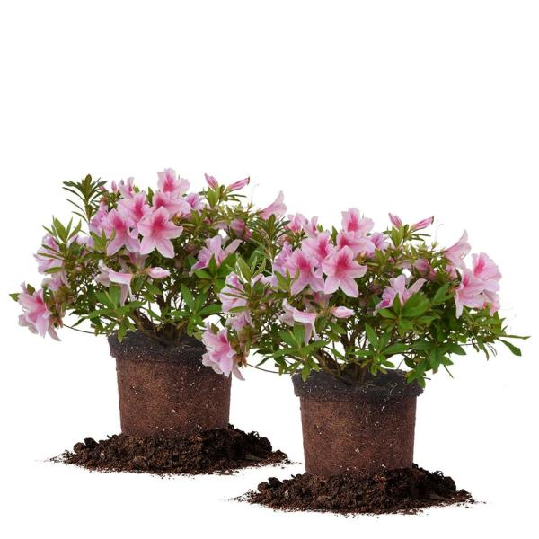 #3 George Tabor Azalea Shrub (2-Pack)