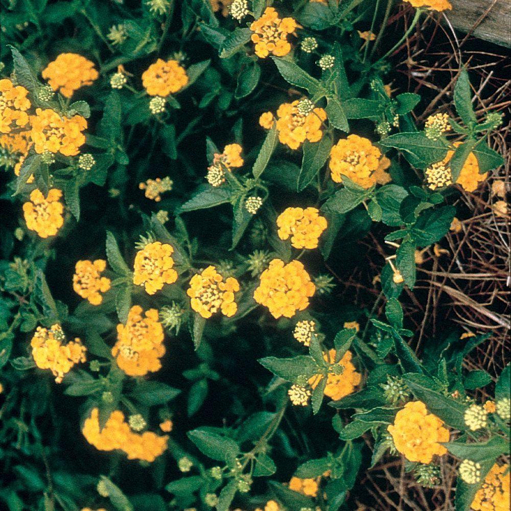 2.5 Qt. New Gold Lantana, Live Perennial Plant, Bright Yellow Bloom