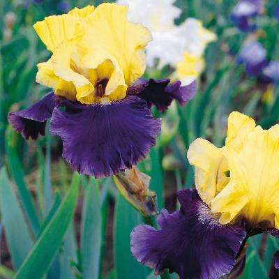 Bearded Iris Bulbs Jurassic Park (Set of 3 Roots)