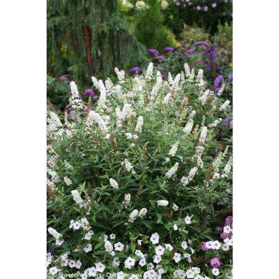 3 Gal. Miss Pearl Butterfly Bush (Buddleia) Live Shrub, White Flowers