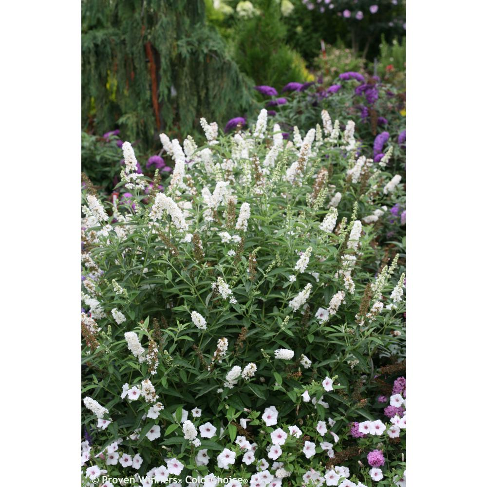 Proven winners 4 5 in qt miss pearl butterfly bush for Garden shrubs