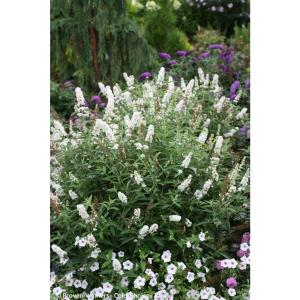 Proven Winners 4 5 In Qt Miss Pearl Butterfly Bush