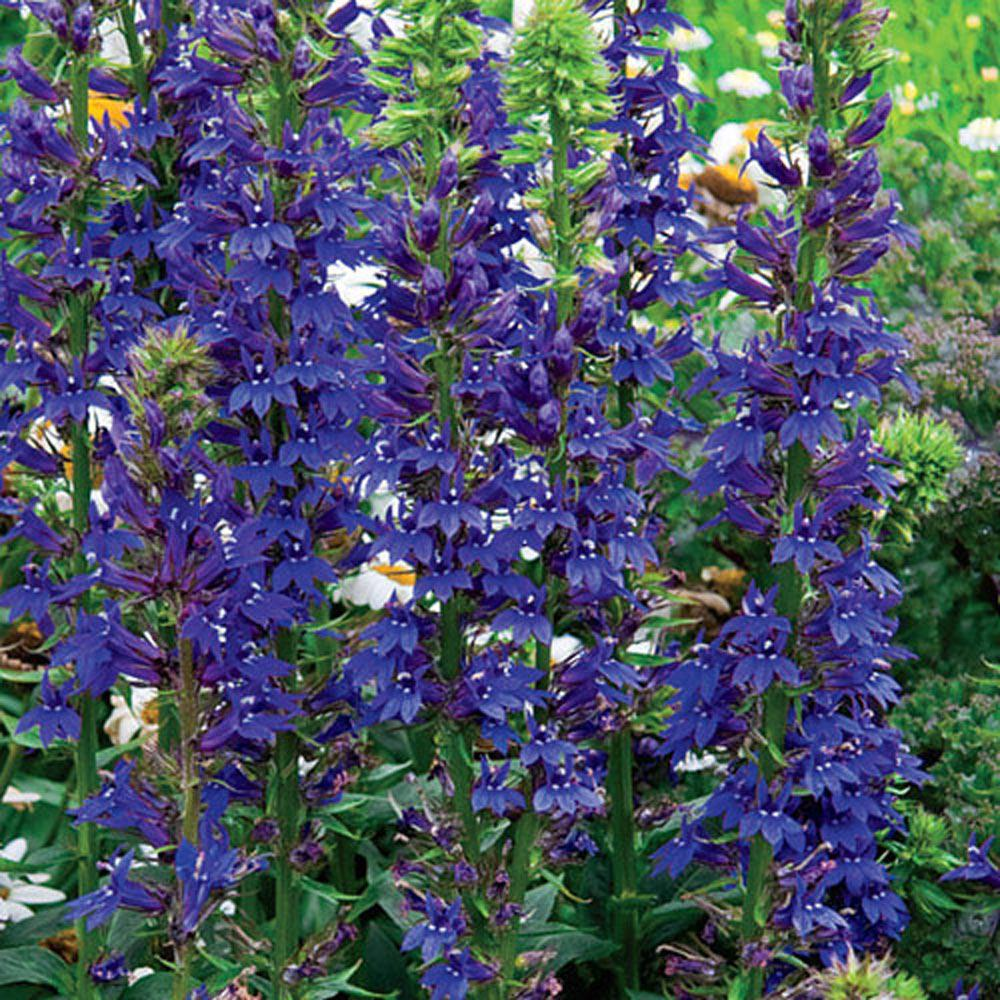 Spring Hill Nurseries Blue Cardinal Flower Lobelia Live Bareroot