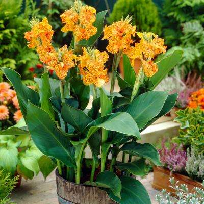Red and Yellow Canna Picasso Bulbs (5-Pack)