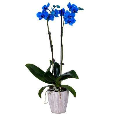5 in  Orchid Blue in Container