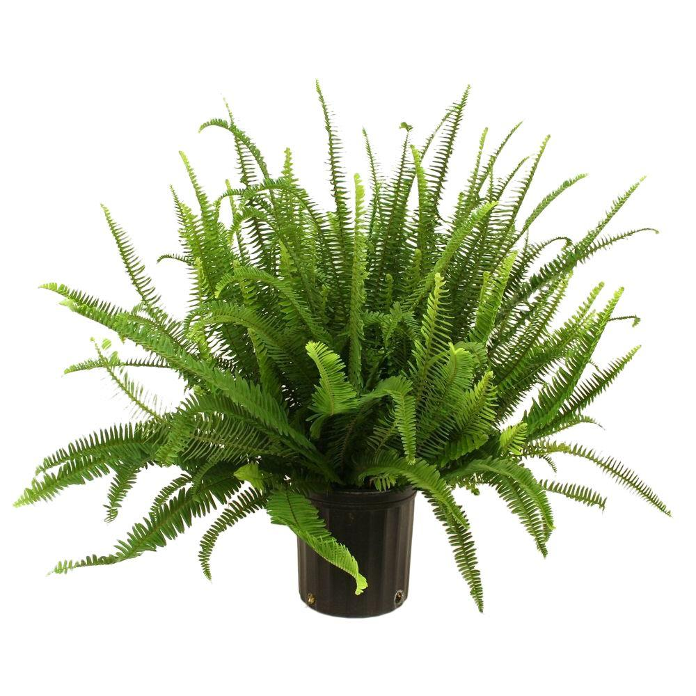 Costa Farms Kimberly Queen Fern in 8-3/4 in. Pot