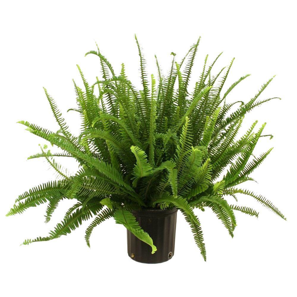 Delray Plants Kimberly Queen Fern In 8 3 4 In Pot 10KIM