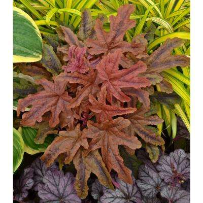 4.5 in. qt. Fun and Games Red Rover Foamy Bells (Heucherella) Live Plant, Copper Red Foliage