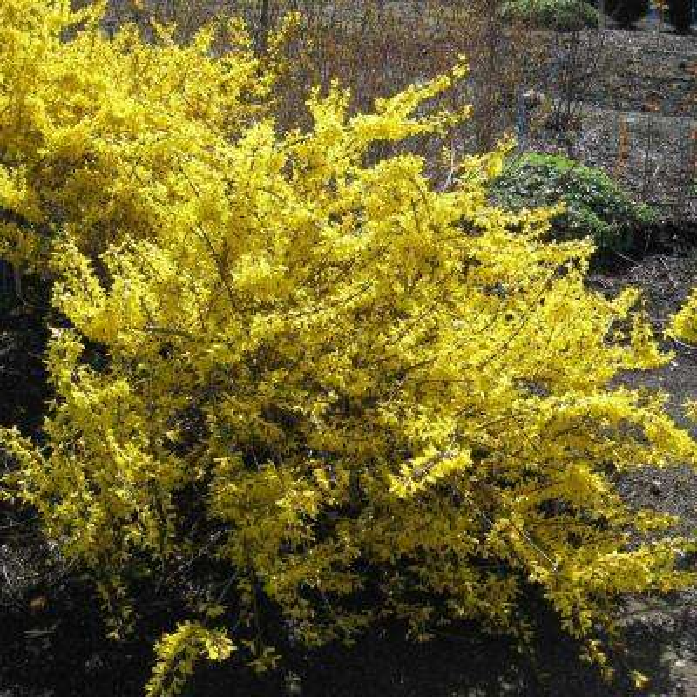 2.50 Qt. Pot Magical Gold Forsythia Flowering Shrub Yellow Live Deciduous Plant (1-Pack)