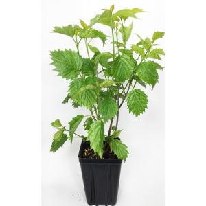 Click here to buy  Proven Winners Blue Muffin Viburnum Potted Flowering Shrub.