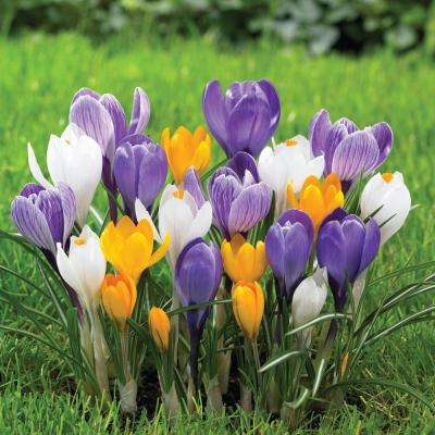 Crocus Large Flowering Mix Bulbs (250-Pack)
