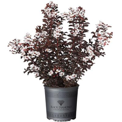 2.25 Gal. Pure White Crape Myrtle Tree with Bright White Flowers