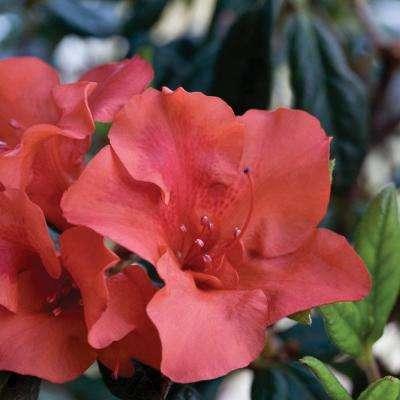 1 Gal. Autumn Embers Encore Azalea Shrub with Red-Orange Reblooming Semi-Double Flowers