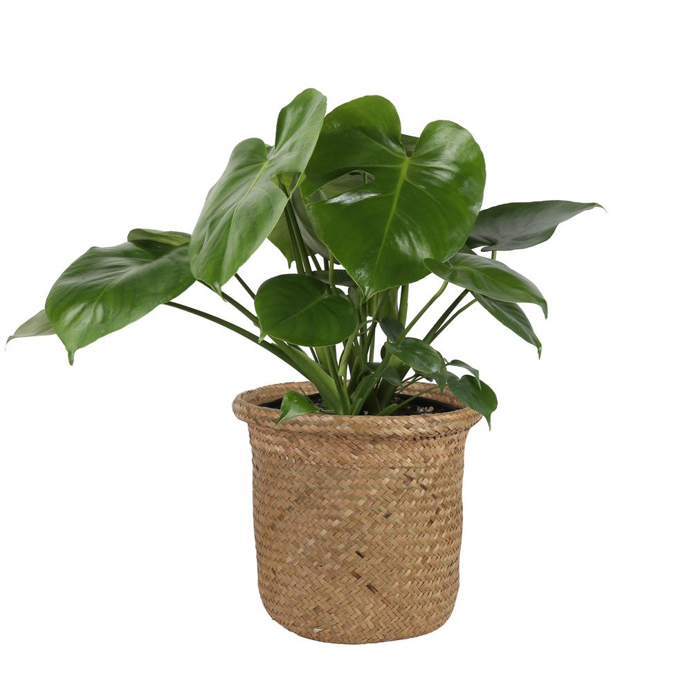 Costa Farms Monstera Deliciosa Swiss Cheese Plant in 9.25 in. Seagrass Basket