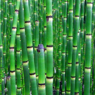2.5 Qt. Native Horsetail Reed Equisetum Plant in black pot