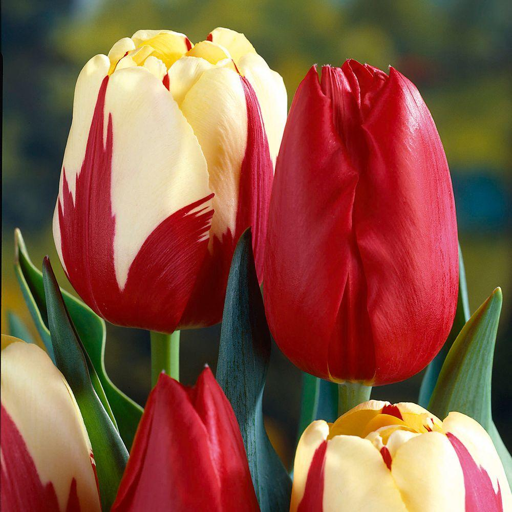 Martha Stewart Living Tulip World Expression & Tulip Kingsblood Dormant Bulbs (48-Pack)
