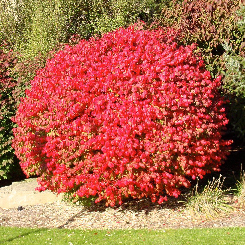 Onlineplantcenter 3 Gal Flaming Red Burning Bush Shrub