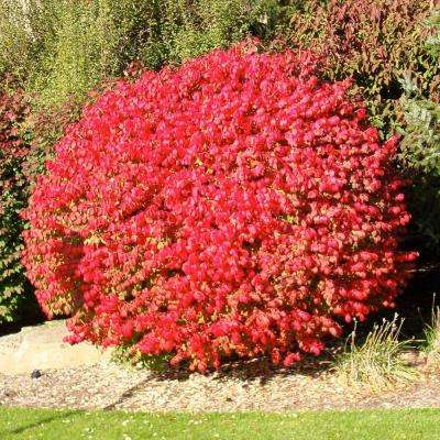 3 Gal. Flaming Red Burning Bush Shrub