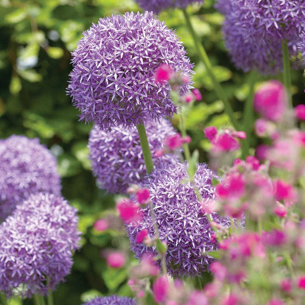 Gladiator Allium Bulbs (5-Pack)