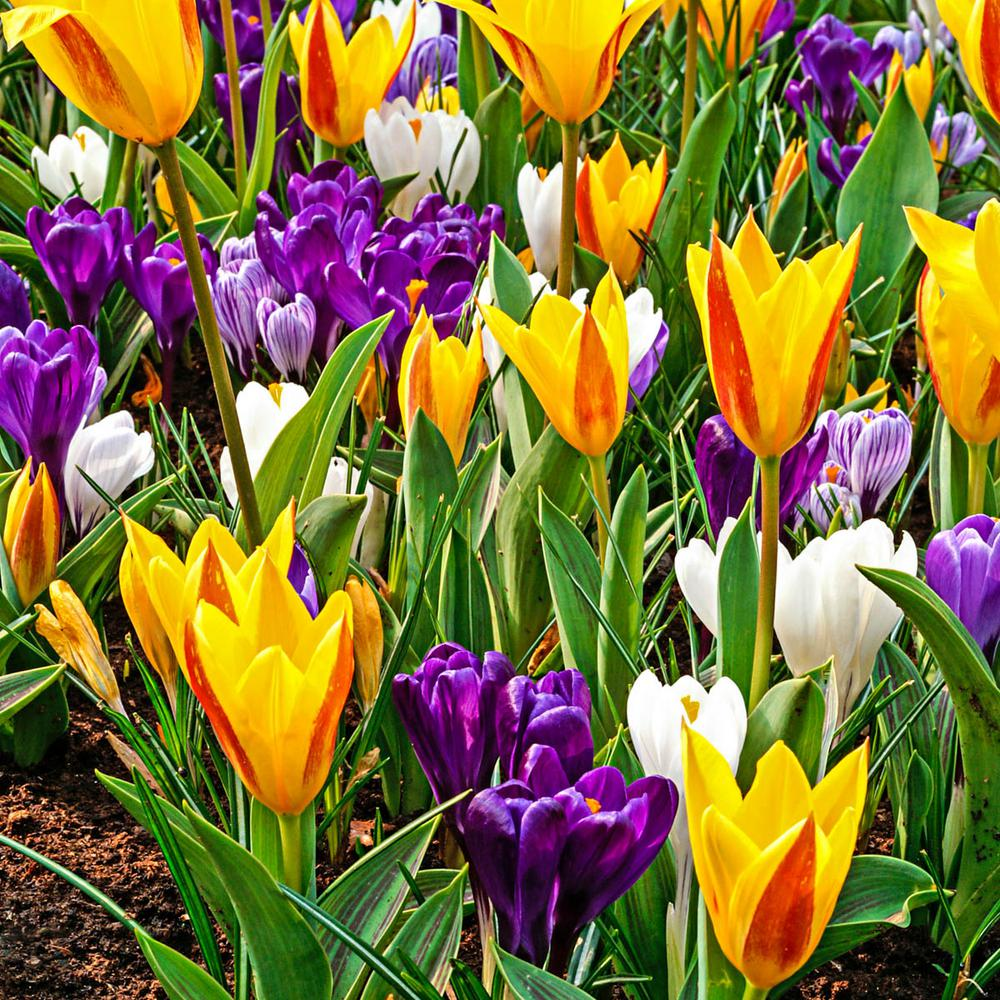 Rise And Shine Spring Flowering Bulbs Mixture 40 Pack 62242 The