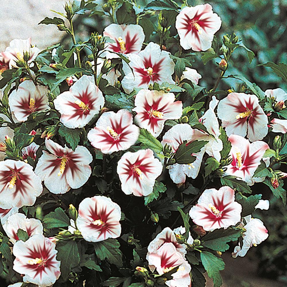 Spring Hill Nurseries Helene Rose Of Sharon Althea Live Bareroot Plant White