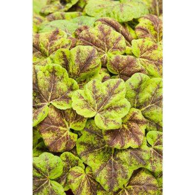 Fun and Games Leapfrog Foamy Bells (Heucherella) Live Plant, Bright Green and Purple Foliage, 0.65 Gal.