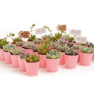 2 in. Wedding Event Rosette Succulents Plant with Pink Metal Pails and Let Love Grow Tags (140-Pack)
