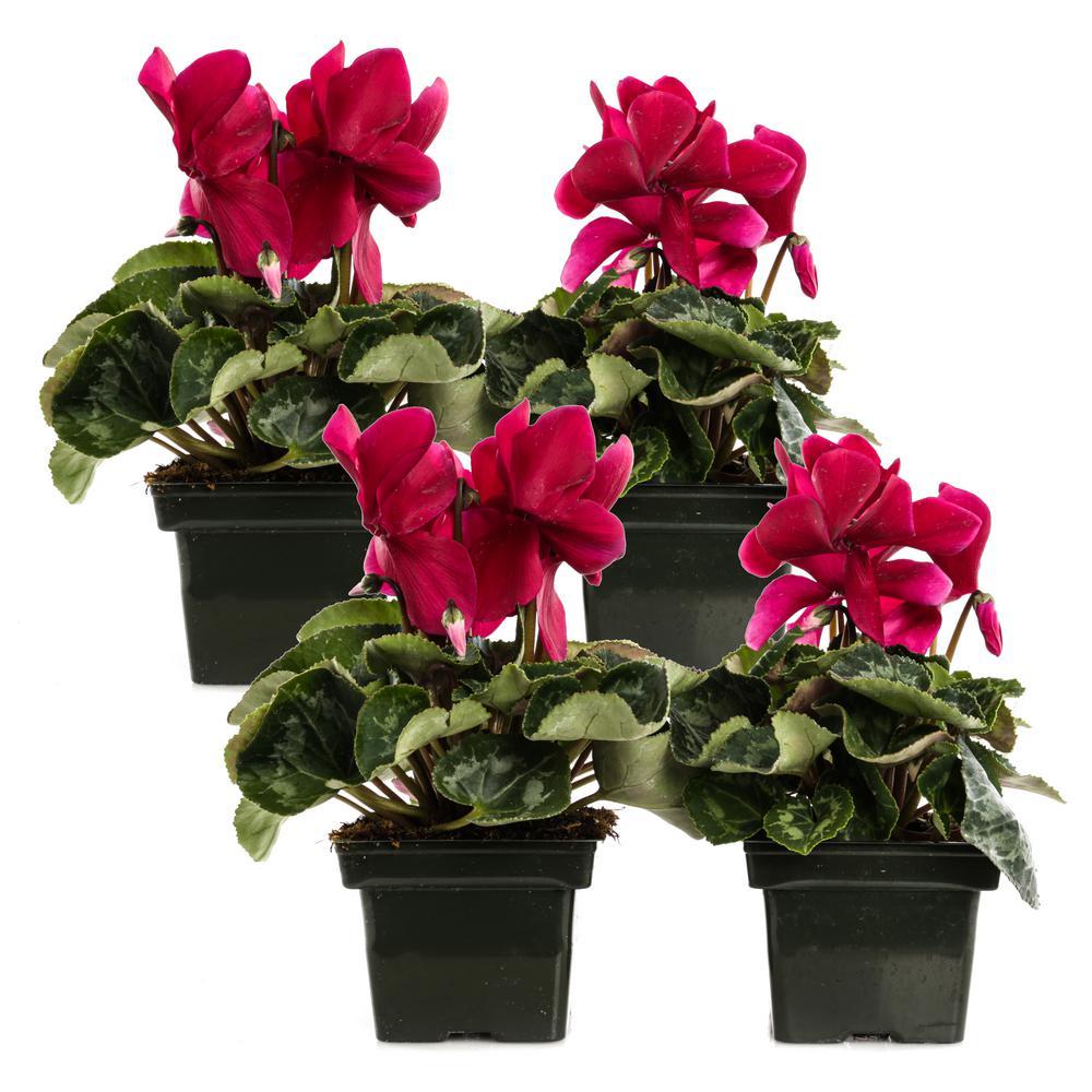 1.21-Pint Dark Pink Cyclamen Latinia in 4 in. Pot (4-Pack)
