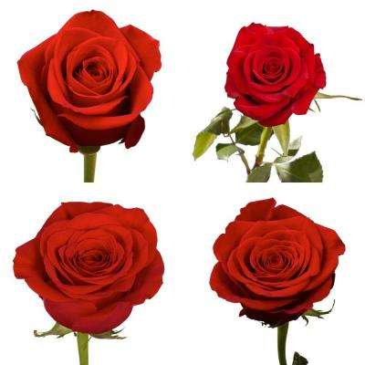 Fresh Red Color Roses (250 Stems)