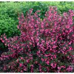 1 Gal. Wine and Roses Reblooming Weigela (Florida) Live Shrub, Pink Flowers and Dark Purple Foliage