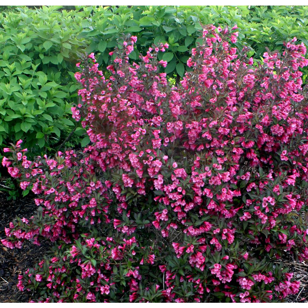 Proven Winners 4 5 In Qt Wine And Roses Reblooming Weigela
