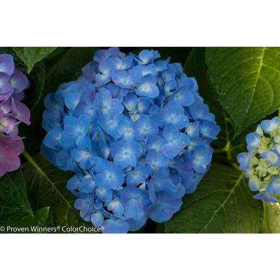 1 Gal. Let's Dance Blue Jangles Reblooming Hydrangea, Live Shrub, Blue or Pink Flowers