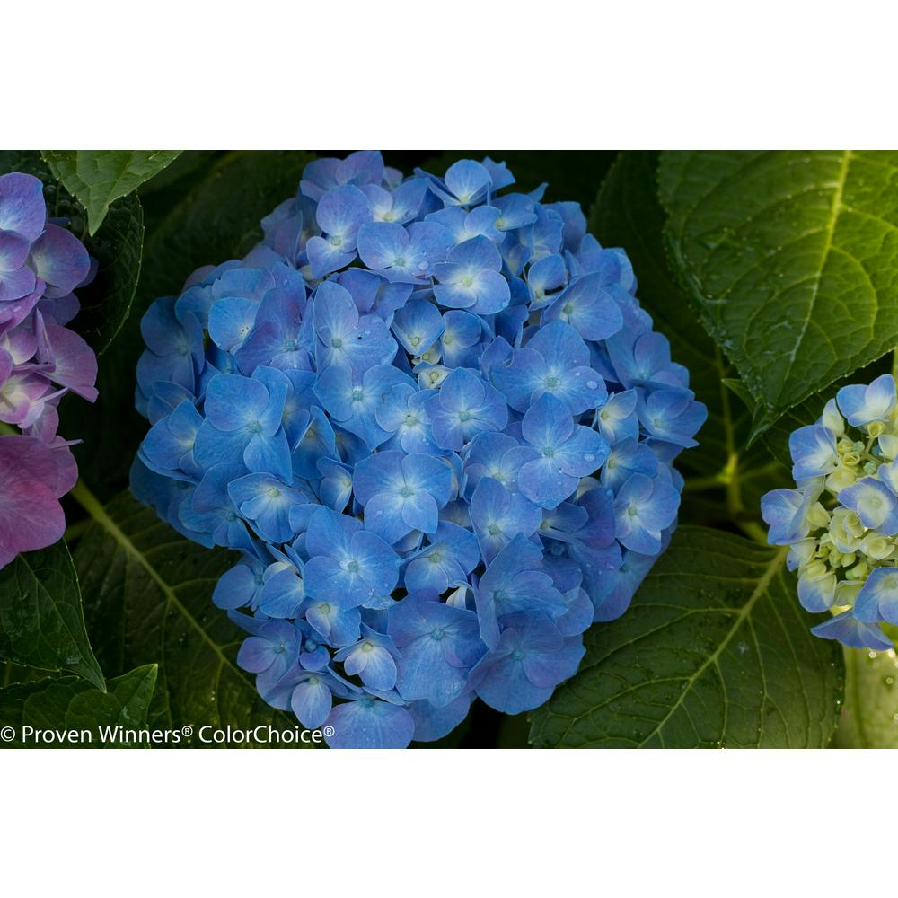 Hydrangea trees bushes garden center the home depot lets dance blue jangles reblooming hydrangea live shrub blue izmirmasajfo