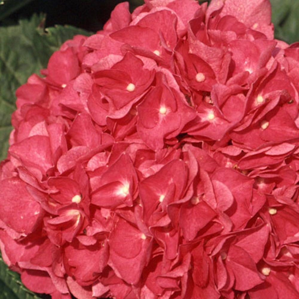 9.25 in. Pot - Merritt's Supreme Pink Hydrangea(Macrophylla) Live Deciduous Shrub, Pink or Blue Blooms