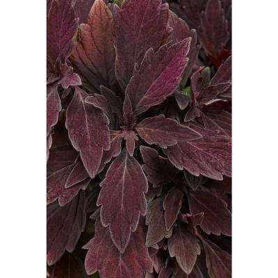 ColorBlaze Marooned Coleus (Solenostemon) Live Plant, Dark Purple Foliage, 4.25 in. Grande