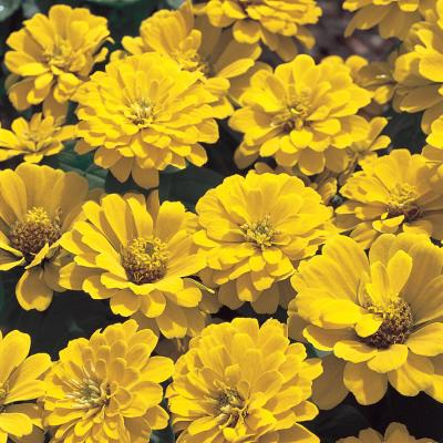 4.5 in. Yellow Zinnia Plant