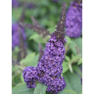 1 Gal. Pugster Blue Butterfly Bush (Buddleia) Live Shrub, Blue Flowers
