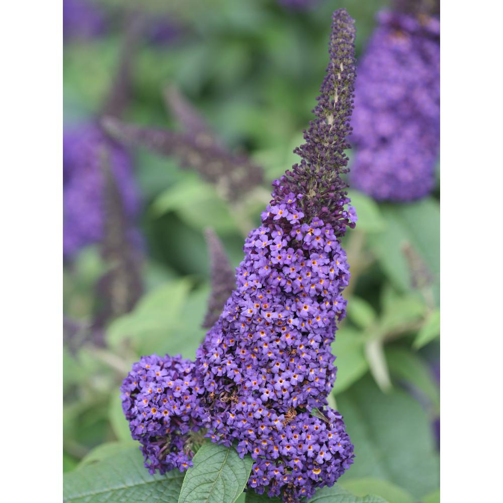 4.5 in. qt. Pugster Blue Butterfly Bush (Buddleia) Live Shrub, Blue Flowers