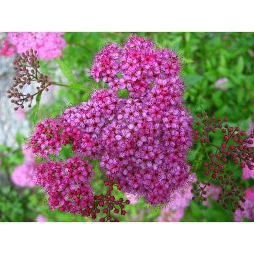 1 Gal. Anthony Waterer Spirea Shrub Huge Pyramidal Clusters of Rosepink Flowers, Dense Spreading Green Foliage