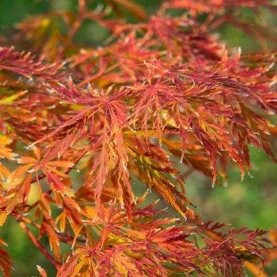Ice Dragon Japanese Maple (Acer) Live Bareroot Ornamental Tree Green Foliage (1-Pack)