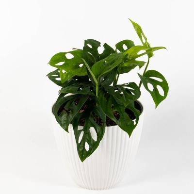 Swiss Cheese Monstera - Narrow Leaf (Adansonii) Live Plant Inside Decorator White Ribbed 6 in. Planter