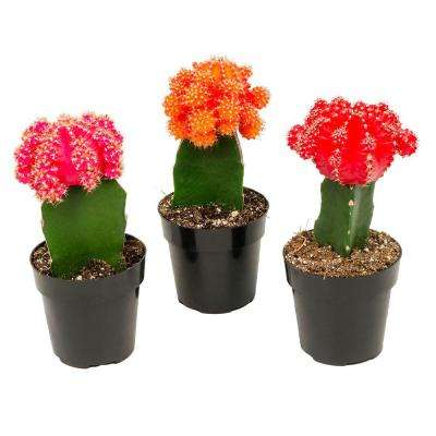 2.5 in. Assorted Grafted Cactus (3-Pack)