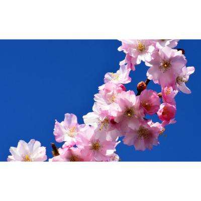 Autumnalis Cherry Blossom Tree, Blooms Twice a Year (Bare Root, 3 ft. to 4 ft. Tall)