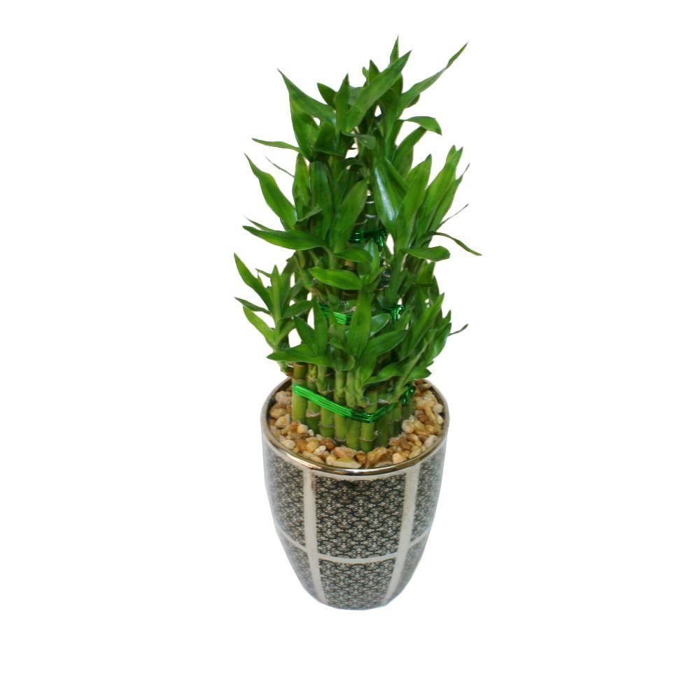 Delray Plants Lucky Bamboo in 5 in. Nadia Black Pot