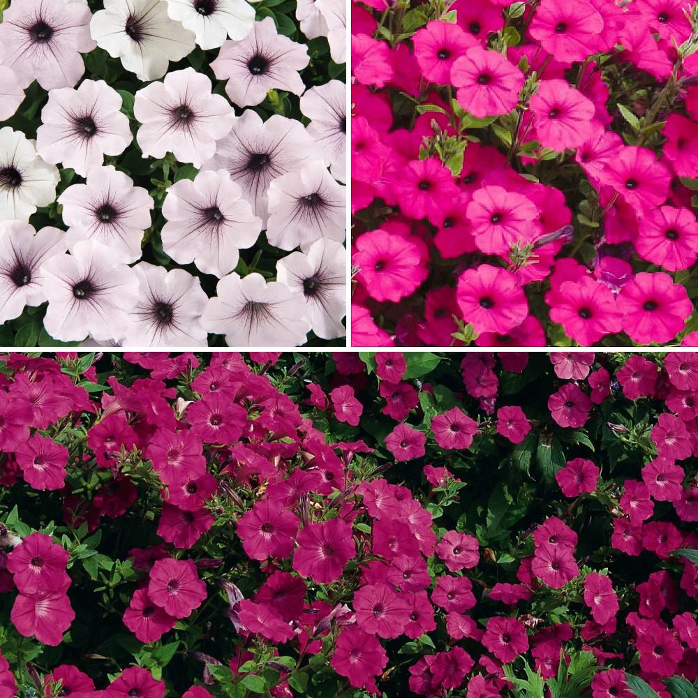 National Plant Network 4 In Wave Silver Red Purple Bloom Petunia