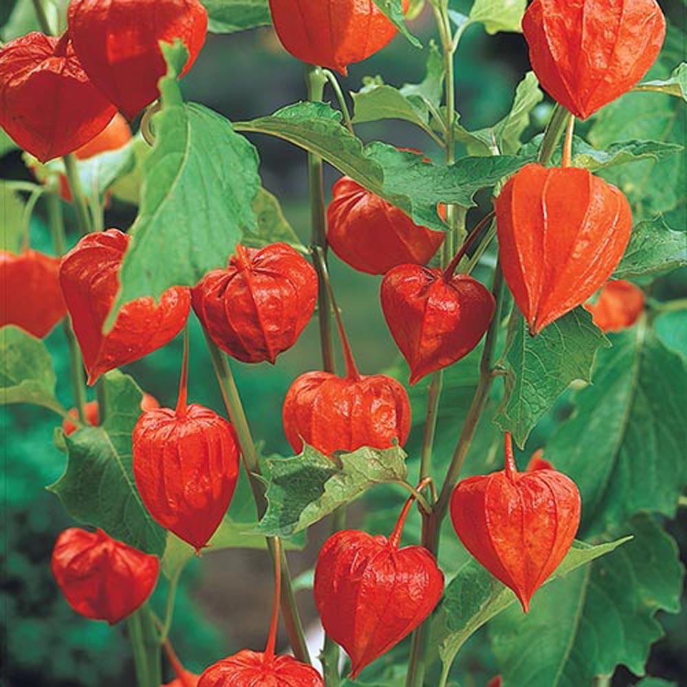 Spring Hill Nurseries Chinese Lanterns Physalis Live Bareroot